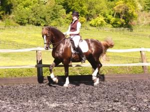 beginning Piaffe, Welsh stallion